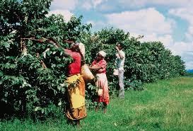 Caffè Arabica e Robusta come riconoscerli e chi li coltiva